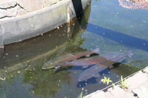 豊平川 鮭